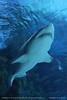 Sand tiger shark (Carcharias taurus) #1 (srkirad) Tags: carchariastaurus tigershark shark tropicarium budapest hungary travel atraction underwater aquarium sea fish