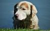 Dog (Samila Carvalho) Tags: dog cão cachorro nadar animal dócil manso spa