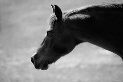 Pony Profile (shannon_blueswf) Tags: horse horsefarm horses horselife horsephotography horseportrait silhouette blackandwhite blackwhite nikon nikonphotography animal pet petphotography petportrait outdoors equine equestrian equinephotography horseaddict light illumination illuminate backlit backlight