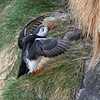 Puffin 05-May-18 G 003 (gomo.images) Tags: 2018 aberdeenshire bird country nature puffin rspbscotlandfowlsheugh scotland stonehaven years