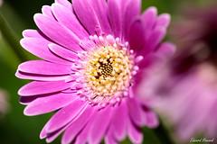 Hello beautiful (edzwa) Tags: sydney newsouthwales australia au pink closeup flower flowers macro macroflower bokeh bokehlicious canon100mmf28lmacro canon6dmarkii