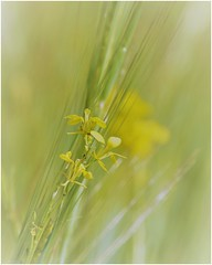 wildflowers ... ( 2 ) (miriam ulivi) Tags: miriamulivi nikond7200 fiorispontanei wildflowers campo field nature giallo yellow verde green