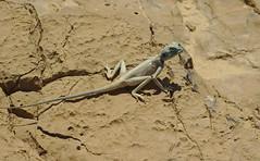 Lézard au sommet de la forteresse (rknecht) Tags: lizard animals désert desert israel massada forteresse hiking randonnée holidays vacances travel voyage nature canon650d canon50mm rocks roche hot chaud sec dry