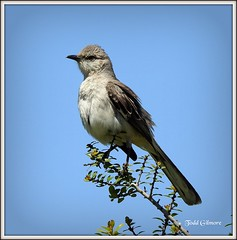 Mockingbird (todd5524) Tags: mockingbird nature amazing animals outdoor trees branches sky bird nikon photography photoshop