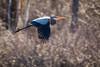 Great blue heron in flight (lilredlizzie) Tags: bird birding beautiful amazing animal animalplanet ma massachusetts newengland outdoors outside travel canon canon80d canonef70300 hornpond heron nature naturelovers dof bokeh