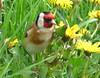 Goldfinch (Peanut1371) Tags: goldfinch finch bird nationalgeographicwildlife