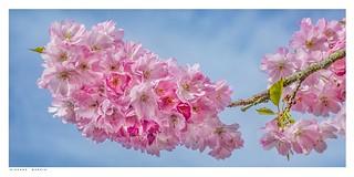 Blossom, Eynsford, Kent.