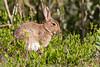 ©Mark Kras-Konijn-_DWL2950.jpg (markkras-fotografie) Tags: zoogdieren konijn fauna europeanrabbit oryctolaguscuniculus nederland nl