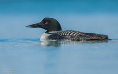 Common loon (salmoteb@rogers.com) Tags: bird wild outdoor nature wildlife ontario canada toronto water animal lake common loon
