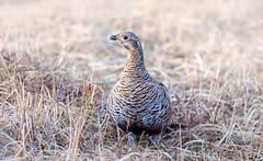 Grey Hen (Chas Moonie-Wild Photography) Tags: grey hen black grouse female wild moor heather scotland