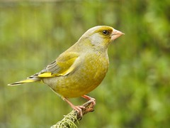 Greenfinch ♂ (Carduelis chloris) (eerokiuru) Tags: greenfinch carduelischloris grünling rohevint bird backyardbirds p900 nikoncoolpixp900