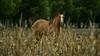 El observador (gatoferre) Tags: horse horsie caballo caballos country campo cornfield maíz rural