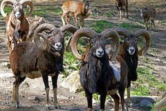 Mufflon (anubishubi) Tags: säuger säugetier paarhufer schaf sheep wildschaf mufflon widder muffelwidder lumixtz101