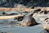 20180424 Elephant Seal (Robert Harwood) Tags: seal elephant gonzales bay beach molting vict vancouverisland britishcolumbia canada ocean sand