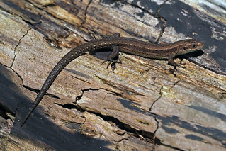 common lizard (Explore)