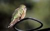 Broad-tailed Hummingbird -- Juvenile Male (Selasphorous platycercus); Santa Fe National Forest, NM, Thompson Ridge [Lou Feltz] (deserttoad) Tags: wildlife nature newmexico behavior flight desert bird wildbird hummingbird mountain nationalforest