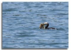 Little Pied Cormorant with Flounder (Bear Dale) Tags: little pied cormorant with sole ulladulla south coast new wales australia bear dale fishing ocean fish sea sun