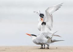 Beak Bite!!! (Patricia Ware) Tags: beach california canon ef400mmf4doisiiusmlens eleganttern fighting handheld huntingtonbeach mating pacificocean thalasseuselegans httppwarezenfoliocom ©2018patriciawareallrightsreserved unitedstates us specanimal