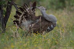 Kori Bustard (m) (leendert3) Tags: leonmolenaar southafrica krugernationalpark wildlife nature birds koribustard ngc npc coth5