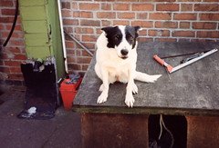 Kelly the Collie (D.R.M.S.) Tags: dog collie