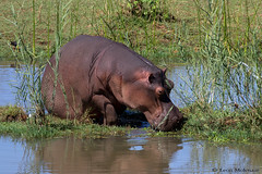 Young Hippo (leendert3) Tags: leonmolenaar southafrica krugernationalpark wildlife nature mammals hippopotamus coth coth5 ngc npc