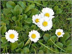 The Common Daisy .. (** Janets Photos **) Tags: uk nature commondaisy flowers plants grassland