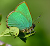 Green Hairstreak (robmcrorie) Tags: green hairstreak raton meadows butterfly conservancy warwickshire insect nikon d7500 wildlife nature