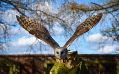 Barn Owl in Flight (littlestschnauzer) Tags: york bird prey centre flight flying barn owls owl wings wingspan 2018 visit display towards huby uk nature tourist attraction april spring feathers pattern patterned face yorkshire sky action shot