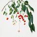 Visciola Cherries (Cerasus visciola) from Pomona Italiana (1817 - 1839) by Giorgio Gallesio (1772-1839).