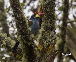 Terlaque andino- Andigena hypoglauca-n  GREY- BREASTED MOUNTAIN- TOUCAN