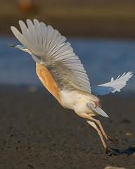 Squacco Heron (keynowski) Tags: squaccoheron alacabalıkçıl ardeolaralloides nature ngc animalplanet animal bird ornithology ornito 70d canon70d 400mmf56l canonef400mmf56lusm