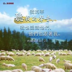 圣经金句-神的羊听神的声音 约翰福音10:27 (追逐晨星) Tags: 圣经金句 金句卡片 金句 听神声音 羊