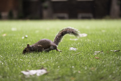 SQUIRREL! (Norse_Ninja) Tags: panasonic gh5 geffrye museum park journeyjd17 danielstaud travellingviking squirrel animal england london