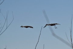 Sandhill Cranes (turn off your computer and go outside) Tags: 2018 antigonecanadensis april birdsofminnesotaandwisconsinpage121 greenbaywestshoreswildlifearea marinettecounty peshtigoharborunit wi wisconsin bird clearskies40degrees critter identified inflight morning nature outdoors sandhillcrane spring