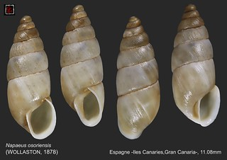 napaeus osoriensis gran canaria 11mm1