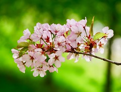 (docwiththecamera) Tags: blossom cherry tree bokeh flower colors