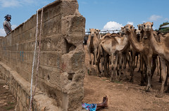 Hump Day (Max Sturgeon) Tags: camel camels harar ethiopia africa travel travelphotography street streetphotography babile