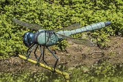 They get bigger every year!! (Mal.Durbin Photography) Tags: forestfarm maldurbin wildlifephotography wildlife birds