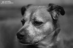 Clearly Not Amused (Hi-Fi Fotos) Tags: rocco rocky rock rocket pet pup dog pooch k9 canine animal portrait cute annoyed face mono bw blackandwhite nikkor 50mm 14 nikon d7200 dx hififotos hallewell
