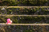 All alone (A Different Perspective) Tags: bali batubelig seminyak flower moss pink temple wall