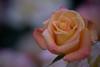 与野公園バラ園2018 (Norio.NAKAYAMA) Tags: rose omiya 与野公園 埼玉 さいたま市 park 公園 大宮 バラ 日本 japan saitama