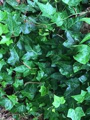 My Ivy Mine In Raindrops. (Jack4Phil) Tags: raindrops green outdoors climbingplant ivy