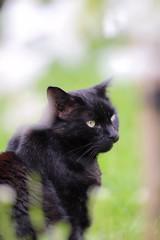 In a Gap of Cherry Blossom (haberlea) Tags: garden mygarden cat blackcat blossome white blackberry pet tree cherry cherrytree