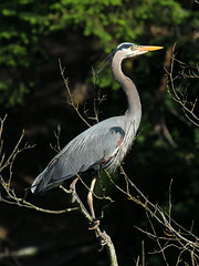 Great Blue Heron (Sandy Paiement) Tags: ardeaherodias greatblueheron