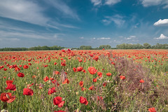 Poppy field (Torok_Bea) Tags: papaver pipacs pipacsmező hungary tököl home beautiful vadmák nikond5500 nikon sigma landscape poppy csepelsziget poppyfield spring csepelisland