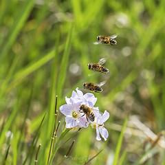 IMG_3033 (padraig thornton) Tags: bee bees cuckoo flower nature wildlife wildflowers outdoor natural light macro closeup canon 7d 100mm padraigjosephthorntongmailcom padraig thornton manorhamilton coleitrim ireland greatphotographers