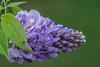My miniature Wysrteria (Pejasar) Tags: flower bloom blossom plant garden wysteria miniature macro blue green spring tulsa oklahoma leaf vine home
