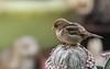 sparrow (Dotsy McCurly) Tags: nikond850 sigma150600mmf563dgoshsmcontemporary sparrow bird nature beautiful fairy yard nj newjersey