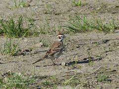 Lark Sparrow - Surrey, BC (Michael W Klotz - The Bird Blogger.com) Tags: lark sparrow surrey joebrown park grass green brown rust white migration chondestesgrammacus bc britishcolumbia canada