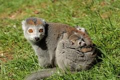 Crowned Lemur with twins (K.Verhulst) Tags: kroonmaki crownedlemur lemur maki twins tweeling amersfoort dierenparkamersfoort